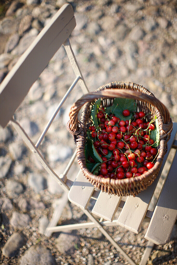 Basket full of cherries, Klein Thurow, Roggendorf, Mecklenburg-Western Pomerania, Germany