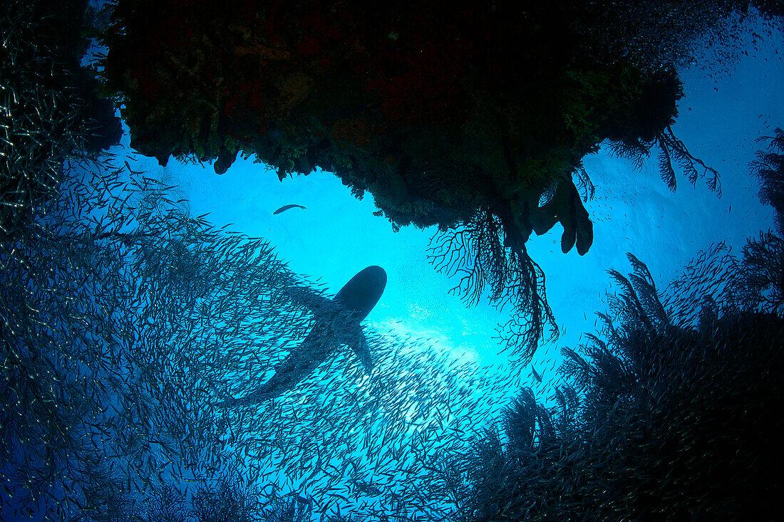 Caribbean, Bahamas, Caribbean Reef Shark [Carcharhinus perezi] viewed from below