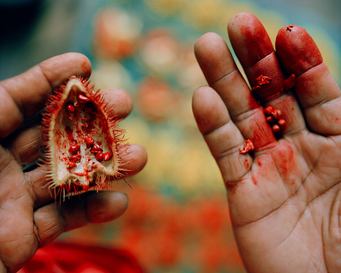 PERU, Belen, Amazon Rainforest, South America, Latin America, human hands holding Achiote at the Belen Market.