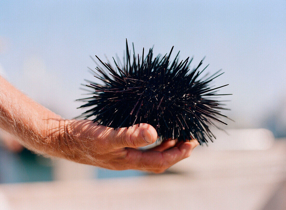 Peter Halmay 71, a former engineer turned sea urchin diver in San Diego,  Ca.,  displays an urchin on his boat after his second dive of the day. According to many,  the best urchins - the big Pacific Reds - come from the kelp forests off Point Loma,  Ca.