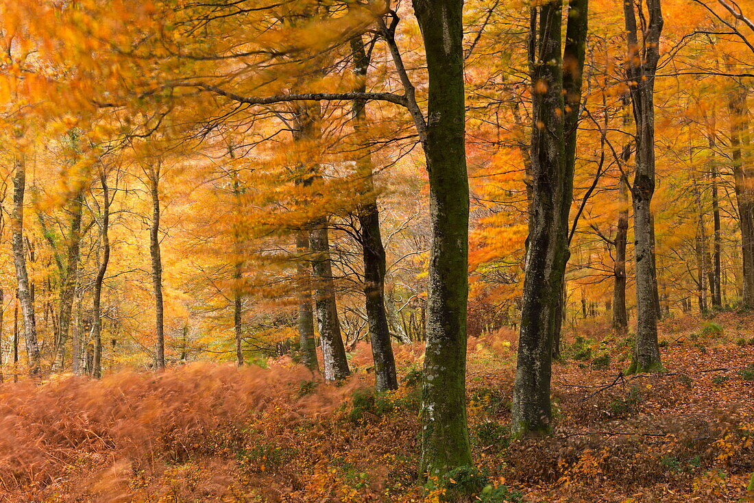 Autumn colours in Barton Wood, Exmoor National Park, Somerset, England, United Kingdom, Europe