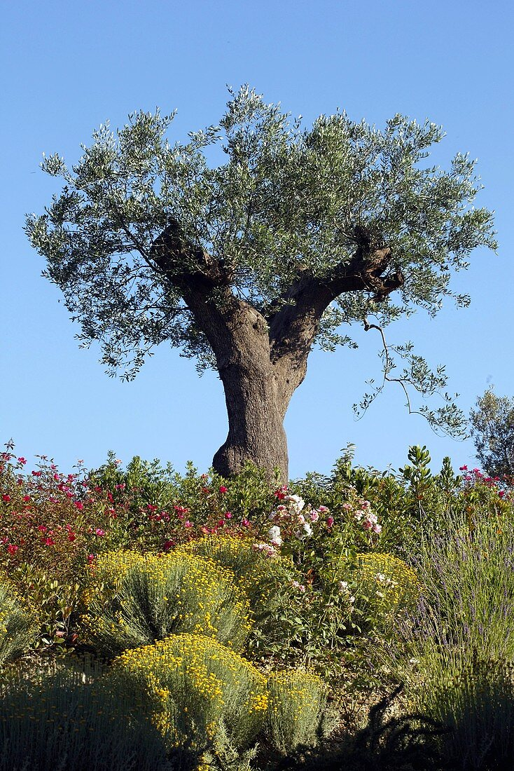 A gnarled olive tree in the Mediterranean landscape