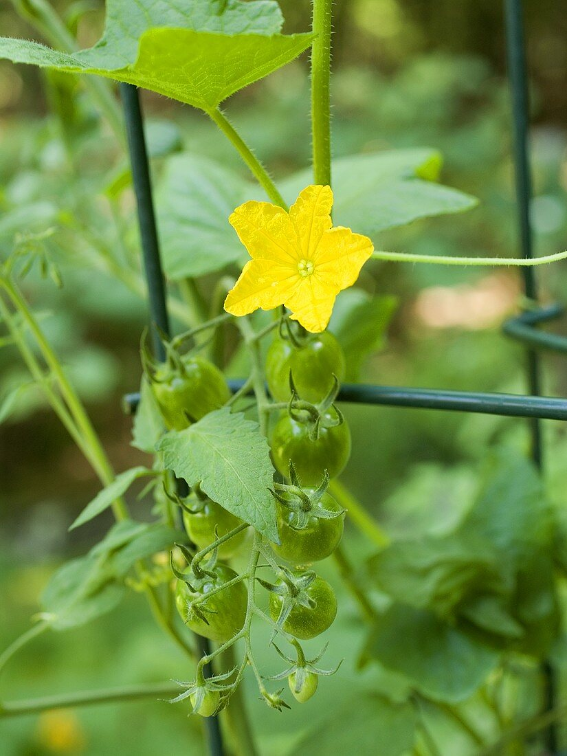 Cherry Tomatoes on the Vine; Not Yet Ripe; Blossom
