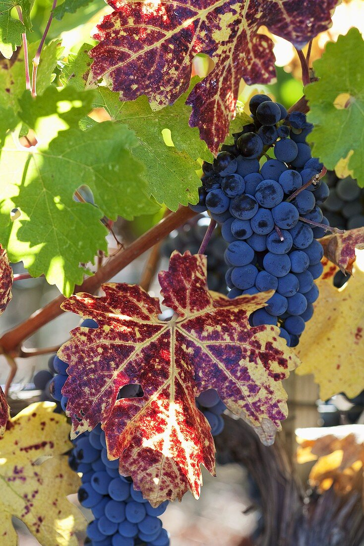 Purple Grapes on the Vine