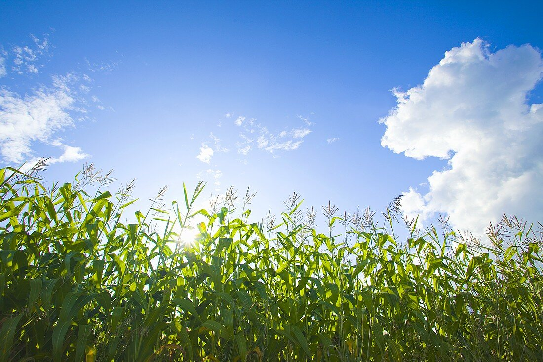 Cornfield Against Blue Sky with Clouds; Vermont