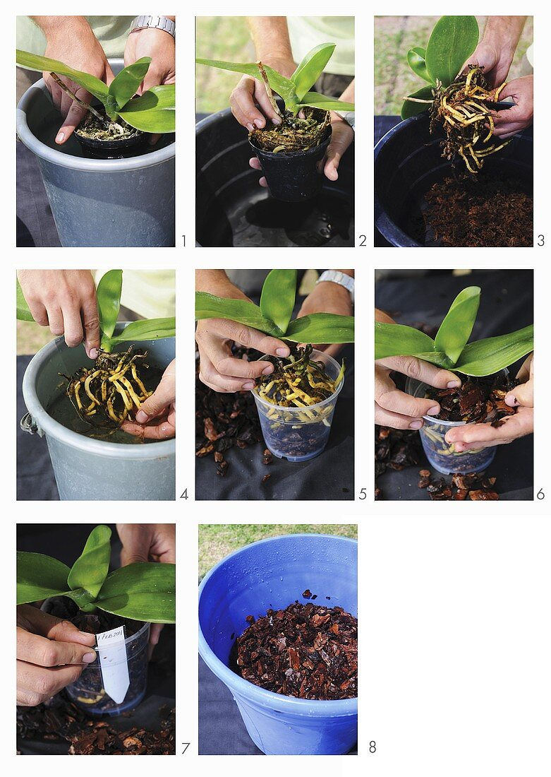 An orchid being repotted