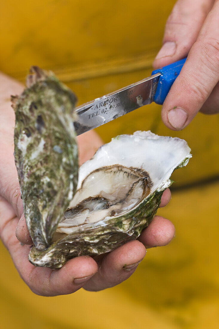 France, Cotes d'Armor, Paimpol, opening an oyster from company Bretagne, Entreprise Andre Arin