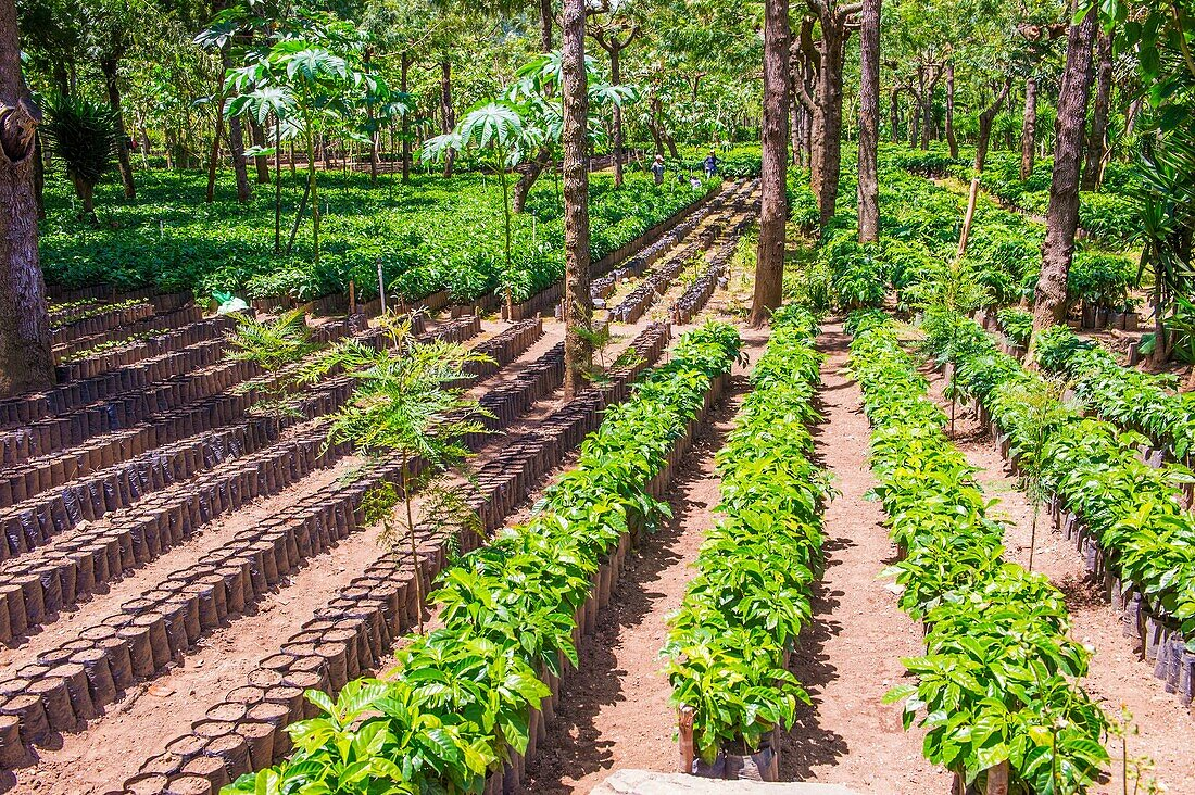 Coffee plantation in Antigua Guatemala. Coffee is an important element of Guatemala's economy.