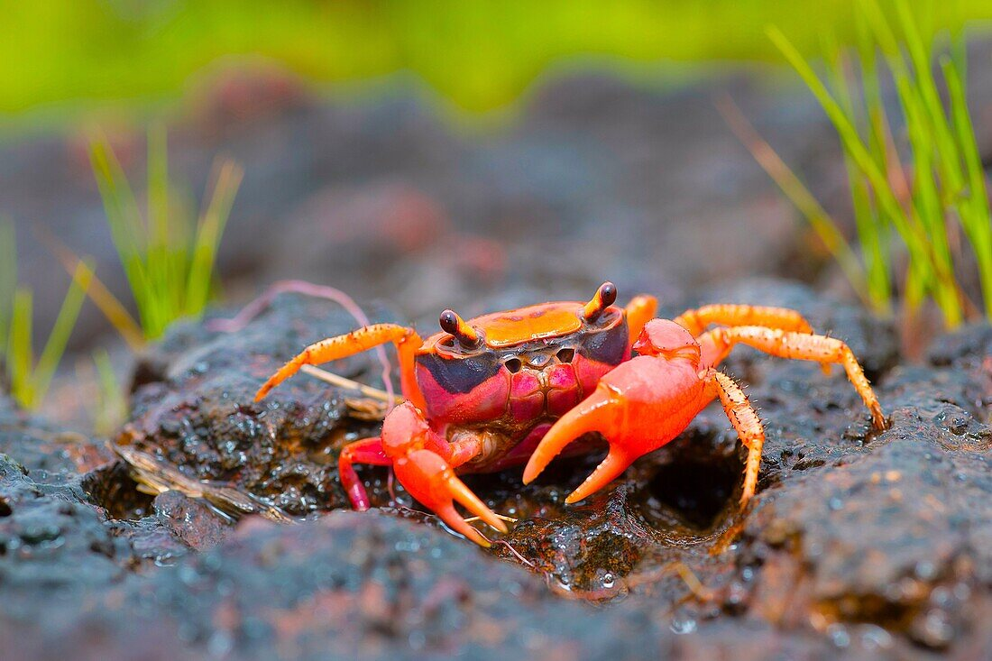 Gubernatoriana thackerayi a newly discovered species of brightly coloured freshwater crabs Satara, Maharashtra, India.