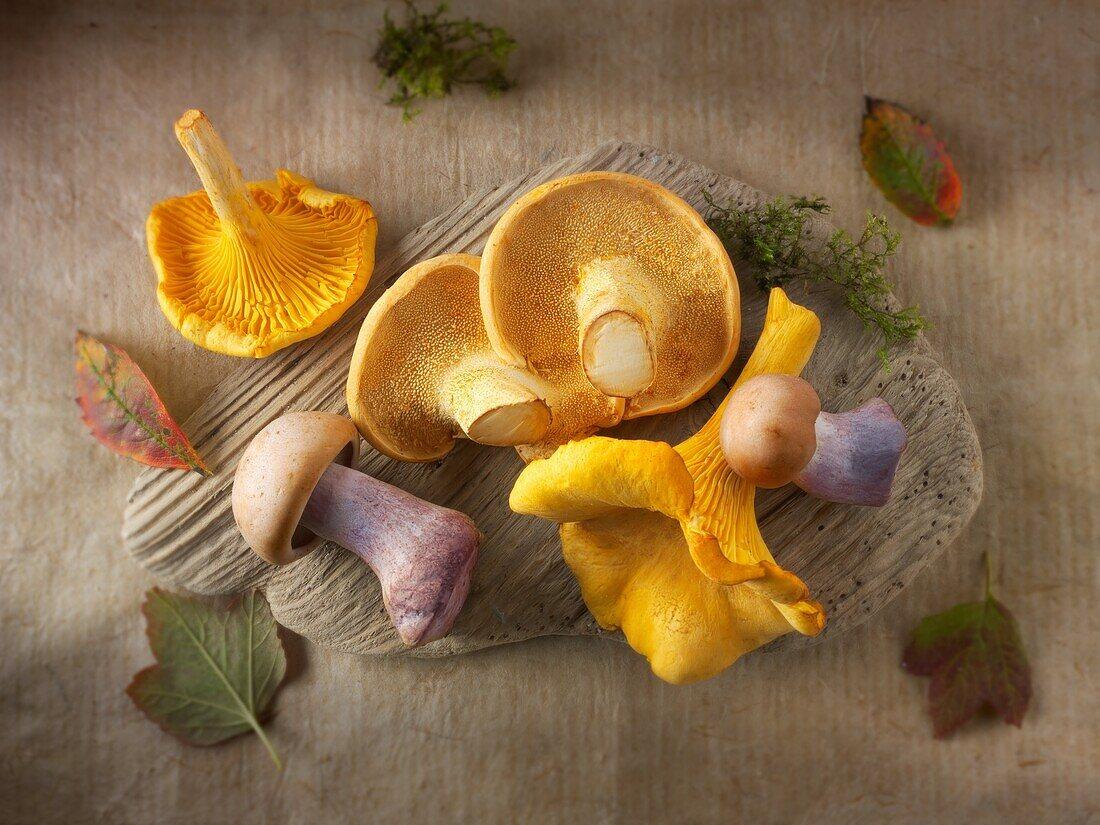 Fresh picked wiild chanterelle or girolle (Cantharellus cibarius), Pied de Mouton Mushrooms (hydnum repandum) or hedgehog mushrooms, Pied Bleu, blewitt or blue foot mushrooms (Clitocybe nuda).