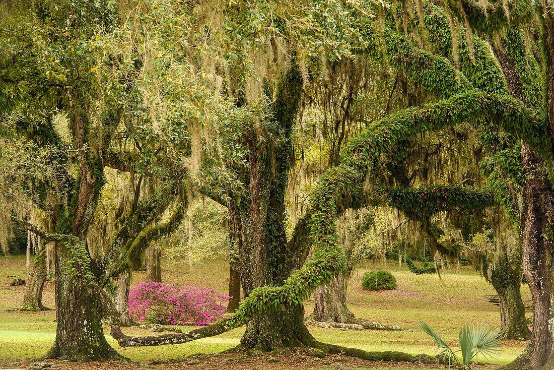 Flowering azaleas and southern live oak in early spring, Jungle Gardens, Avery Island, Louisiana, USA.