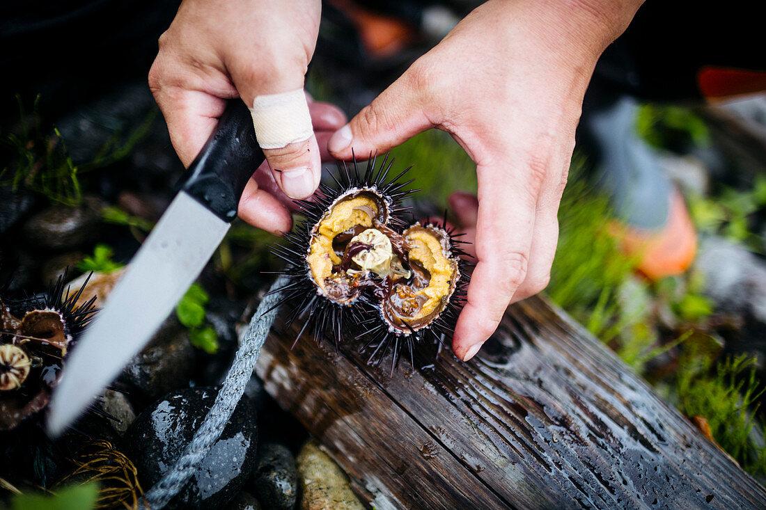 High angle close up of fisherman cutting open a piece of fresh uni, sea urchin.
