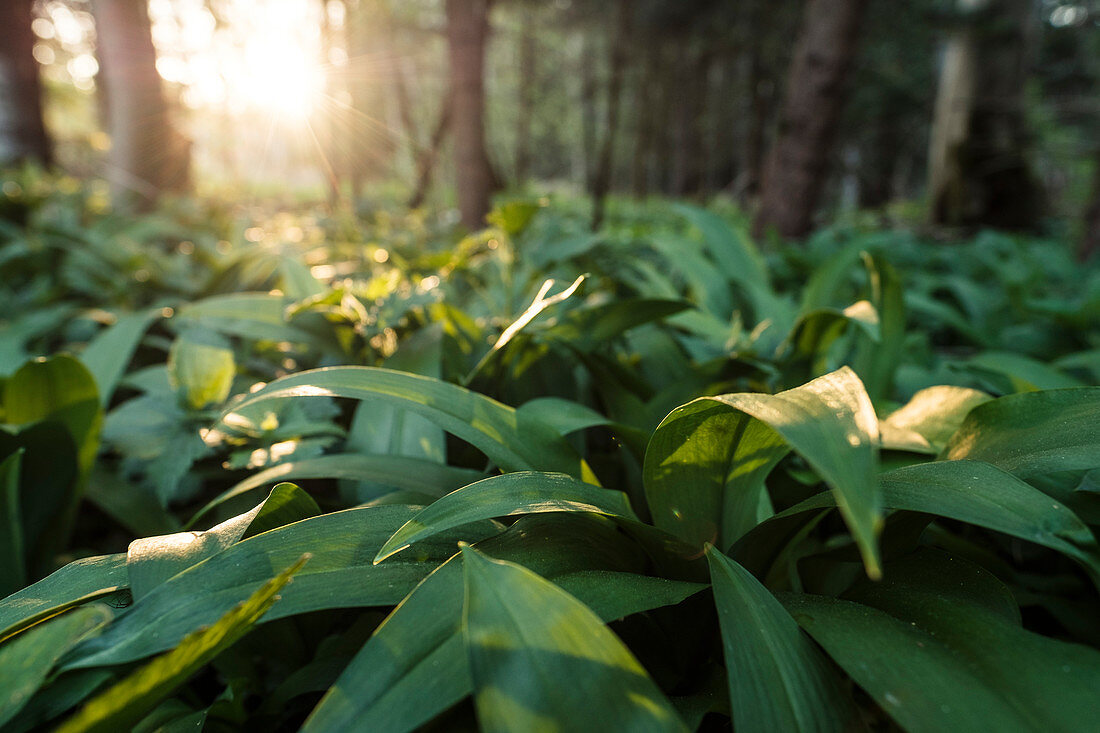 Bear's garlic in the evening sun in the forest, Berg am Starnberger See, Bavaria, Germany