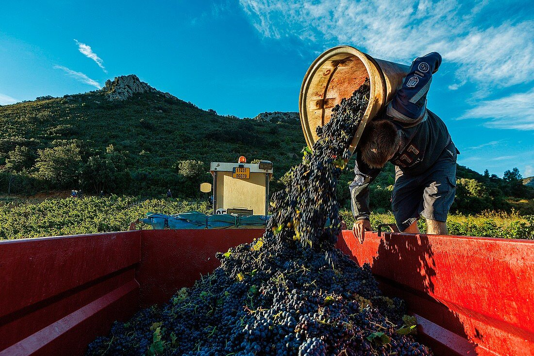 France, Aude, Tuchan, pickers in the vineyard