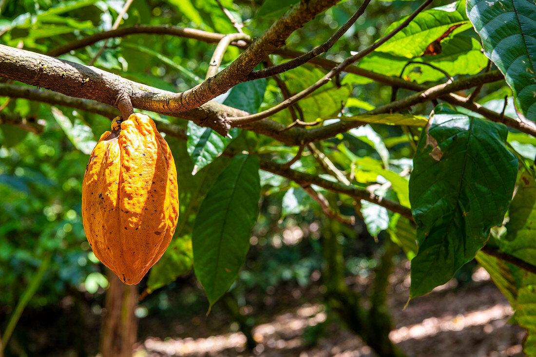 Cocoa fruit, Chocolate farm, Bocas del Toro province, Panama, Central America