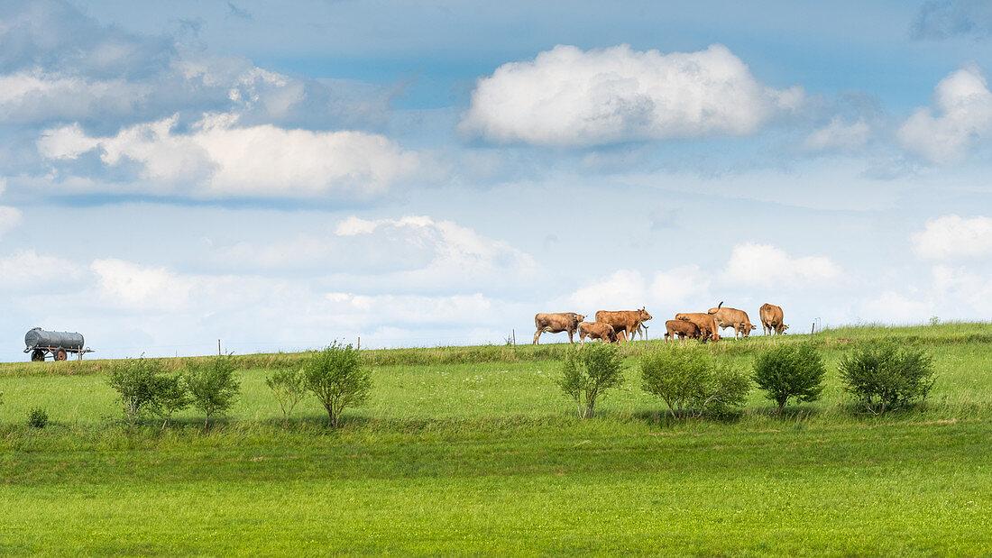 Grasende Kühe unter blauweissem Himmel, Bayern, Deutschland