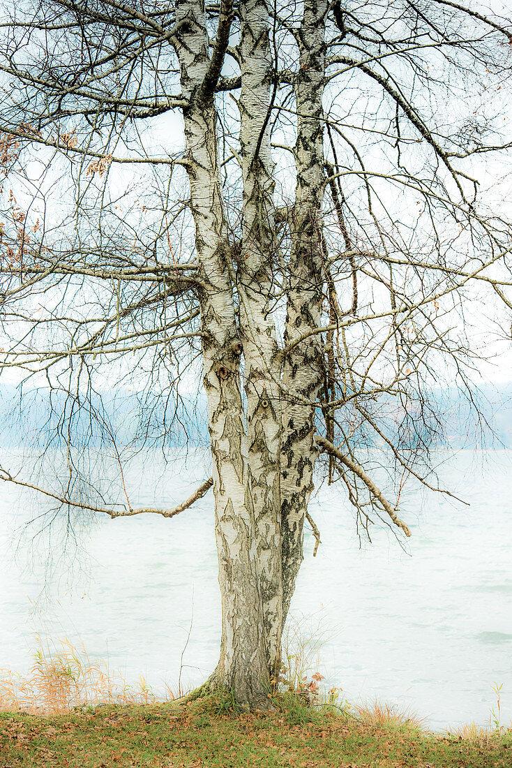 Birch trees in front of Lake Starnberg, Bavaria, Germany