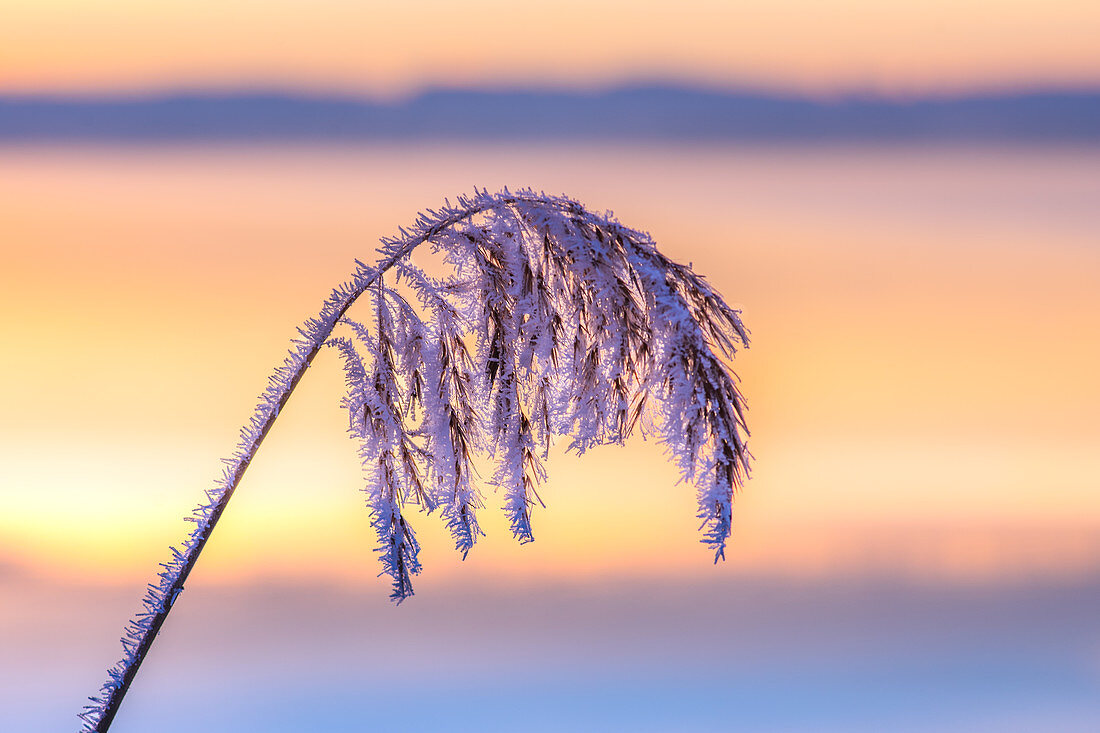 Frosted grass in sunrise, Bavaria, Germany
