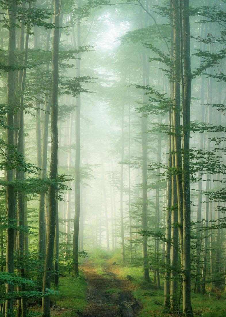 Laubwald im Nebel, Bayern, Deutschland