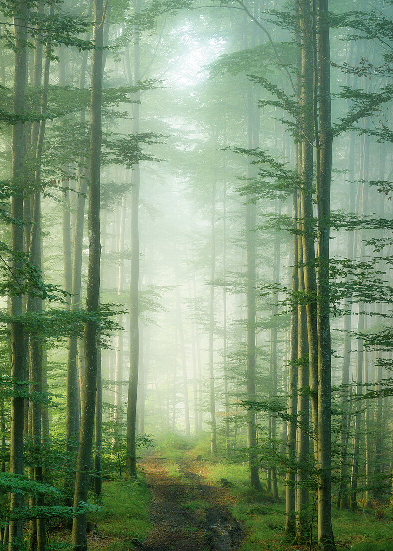 Spruce forest in the fog, Bavaria, Germany