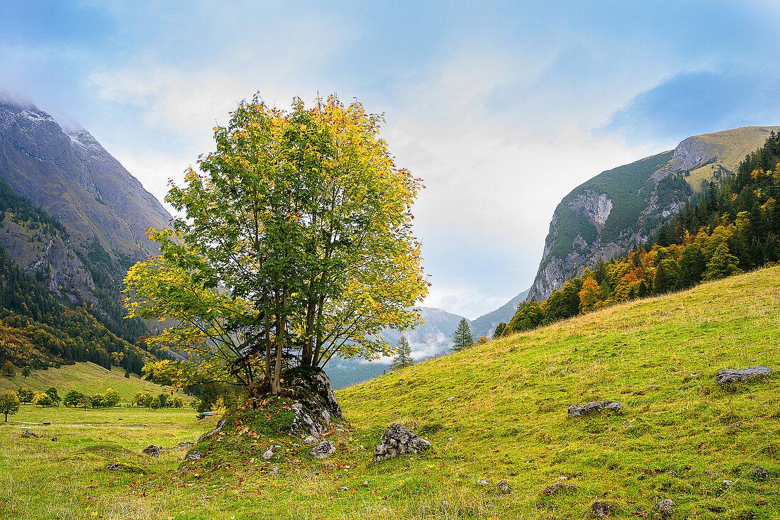 Ahorn mit Herbstfärbung im Ahornboden, Eng, Karwendel, Deutschland