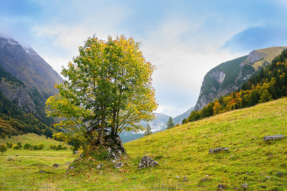 Maple with autumn colors in the Ahornboden, Eng, Karwendel, Germany