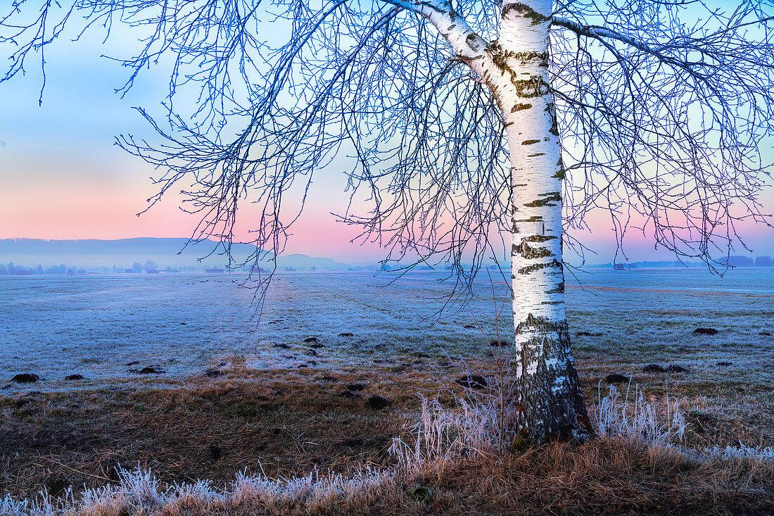 Kahle Birke bei Sonnenuntergang im Blauen Land im Winter, Grossweil, Bayern, Deutschland