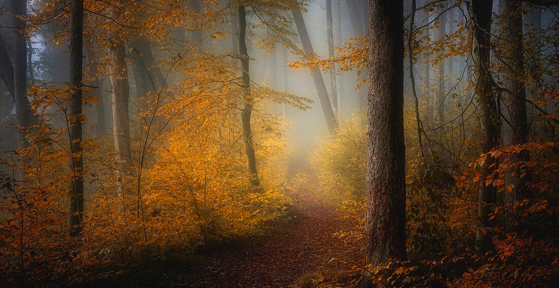 Bunter Buchenwald im Oktober, Wald bei Baierbrunn, Bayern; Deutschland