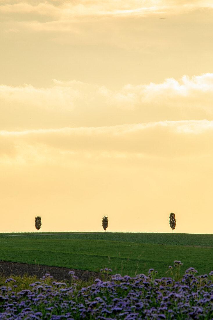 Baumreihe im Abendlicht bei Kemnath, Tirschenreuth, Oberpfalz, Bayern, Deutschland, Europa