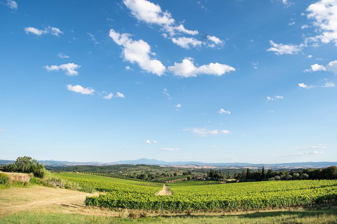 Weinberg in der Landschaft an einem sonnigen Sommertag, Toskana, Italien