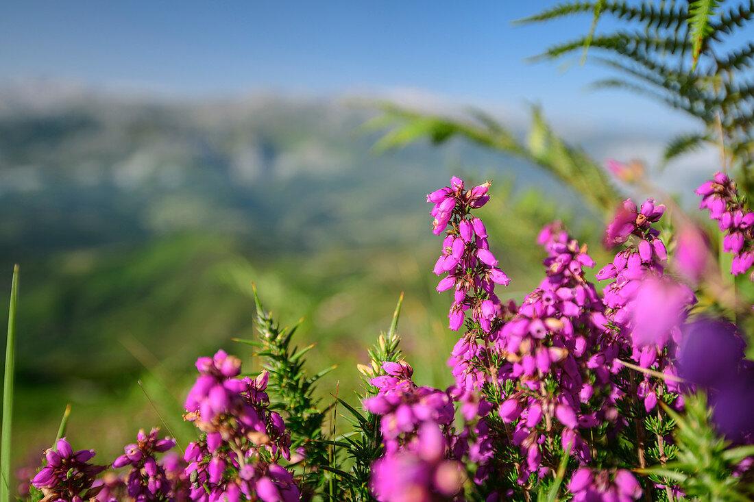 Pink blühende Erika mit Bergen unscharf im Hintergrund, vom Picu Tiedu, Nationalpark Picos de Europa, Kantabrisches Gebirge, Asturien, Spanien