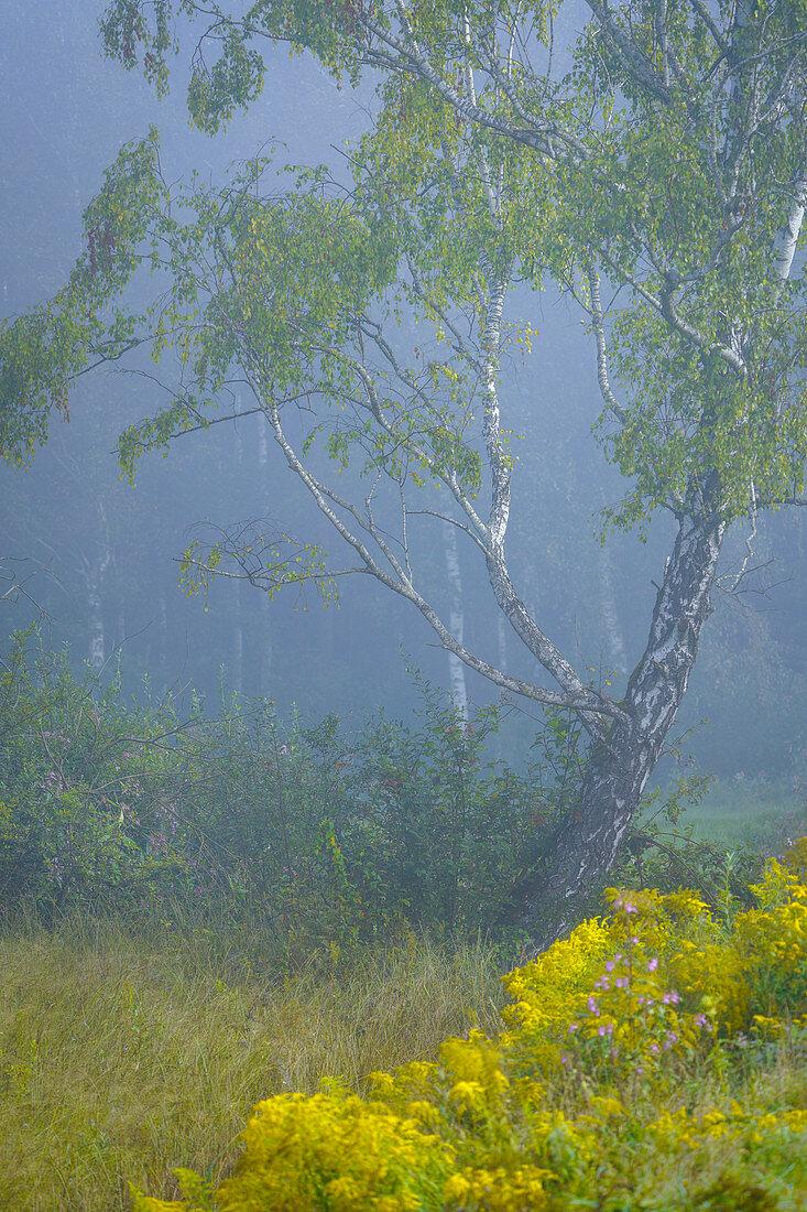 Birke im Moor an einem nebligen Spätsommermorgen, Oberbayern, Deutschland