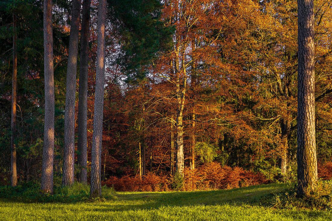 Sonniger Herbstwald im Alpenvorland, Obersöchering, Oberbayern, Bayern, Deutschland