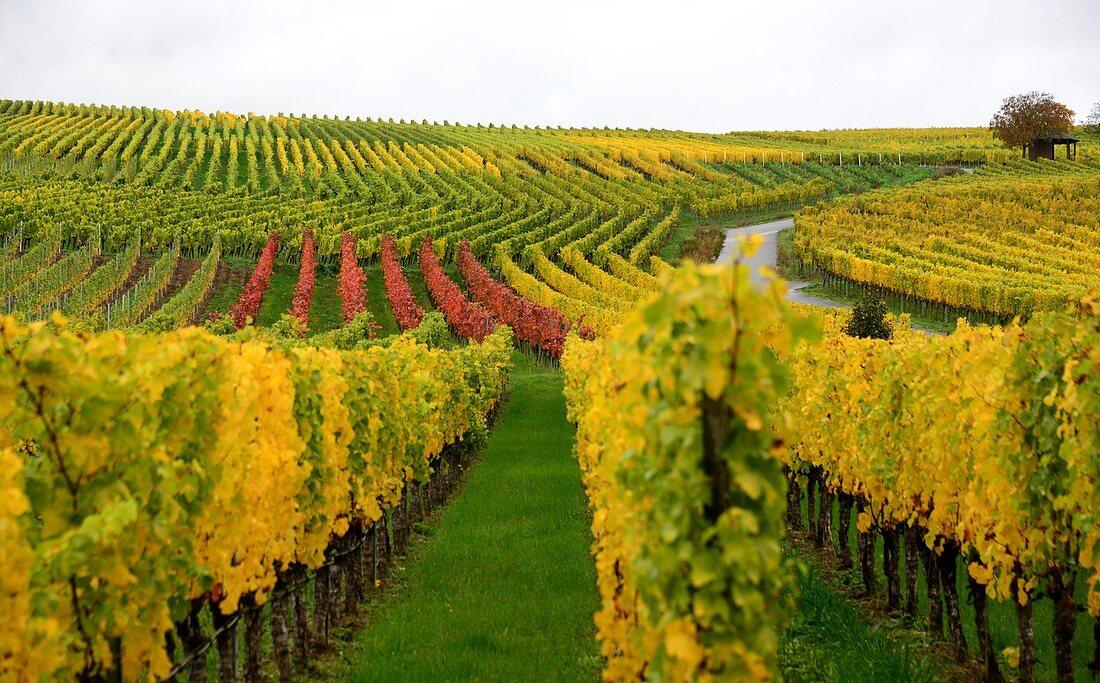 Weinberge bei Nordheim am Main, Unter-Franken, Bayern, Deutschland