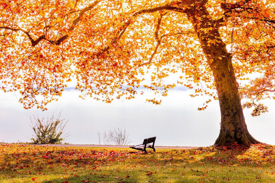 Herbstfärbung am Starnberger See, Tutzing, Bayern, Deutschland