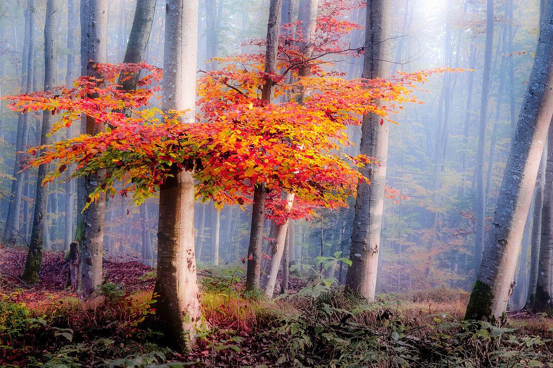 Baum mit roten Blättern im nebligen Wald, Ostersee, Bayern, Deutschland