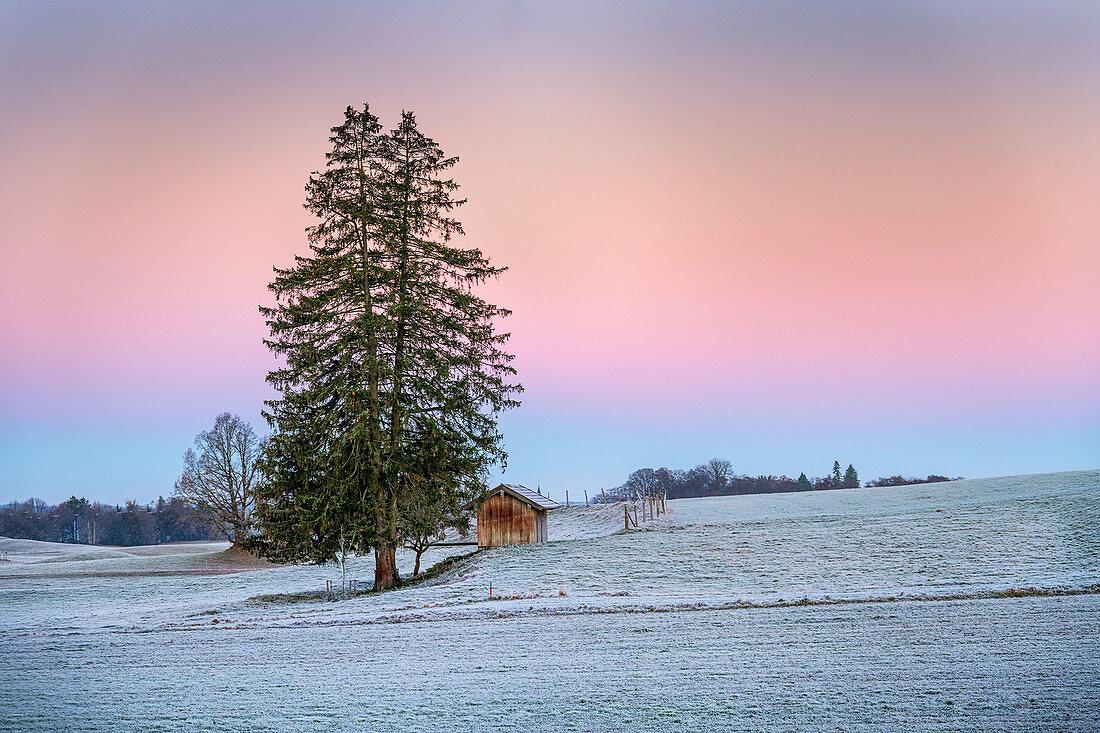 Einsamer Baum bei Sonnenaufgang ian einem frostigen Herbsttag, Monatshausen, Bayern, Deutschland
