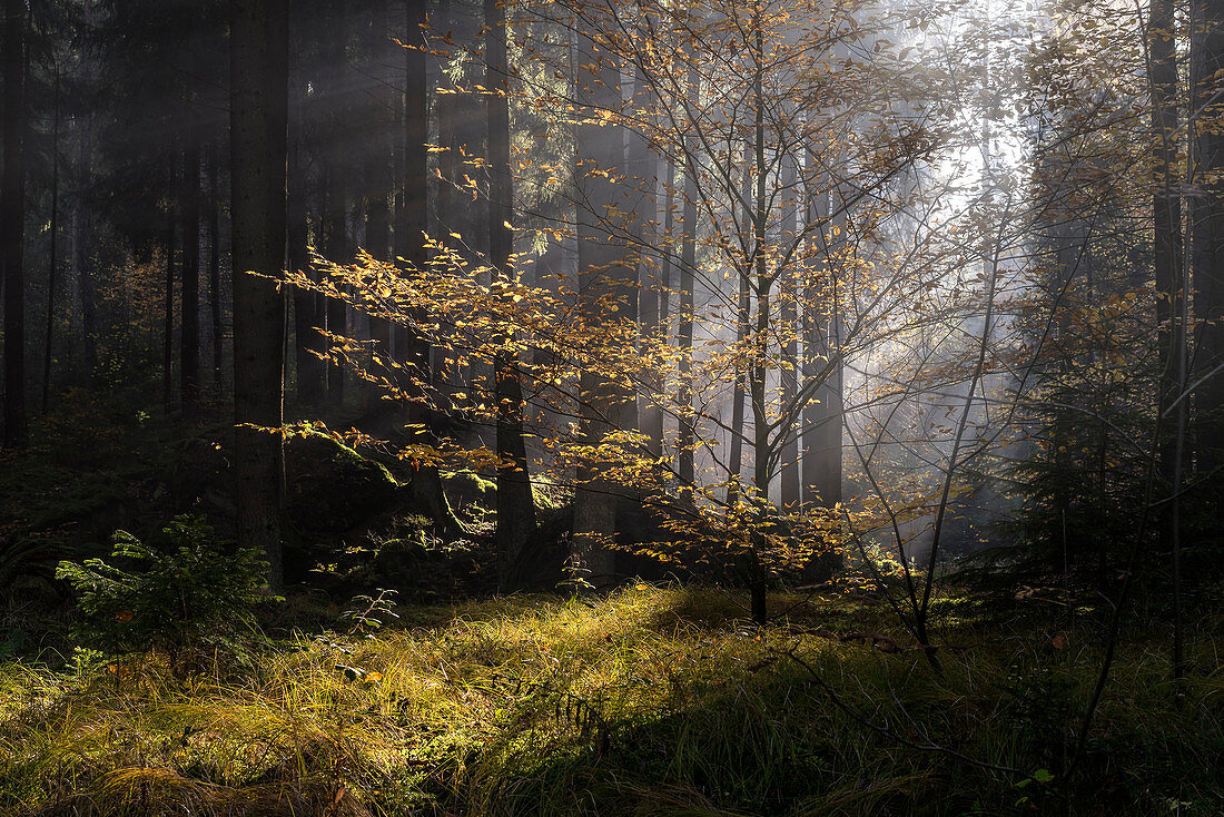Autumn morning in a forest east of Regensburg, Bavaria, Germany, Europe