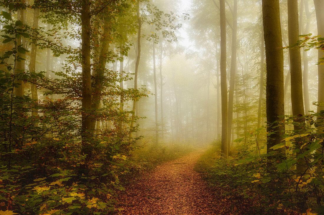 Nebliger Herbstmorgen im einem Buchenwald südlich von München, Bayern, Deutschland, Europa
