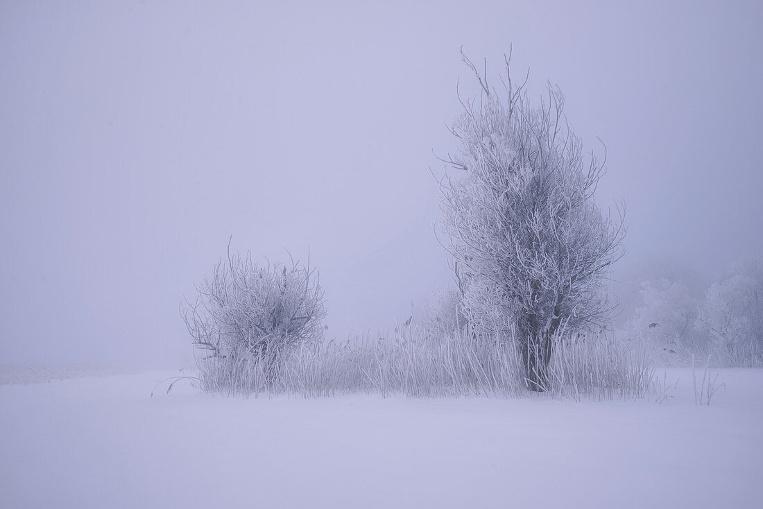 Small group of trees in the Kochelmoos on a winter morning, Kochel am See, Bavaria, Germany, Europe