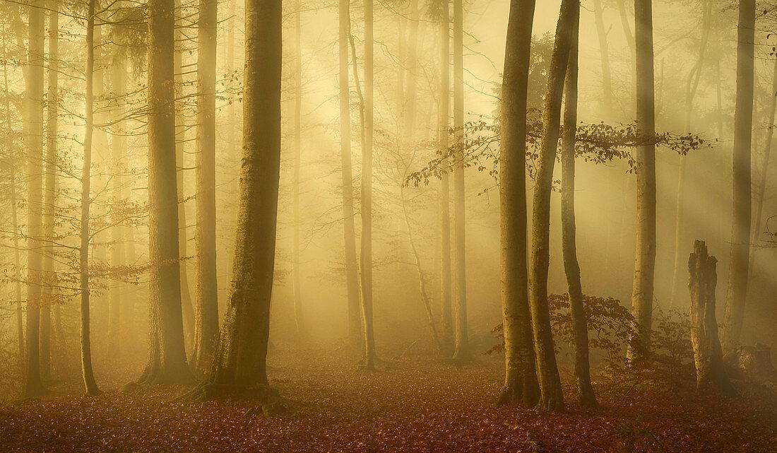 European beech forest in November, Bavaria, Germany, Europe