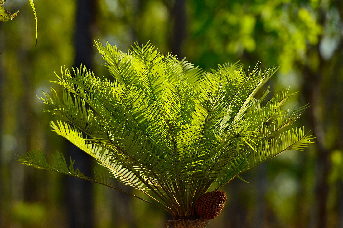 Small palm tree in the sunlight in the middle of the forest, Kakadu National Park, Northern Territory, Australia