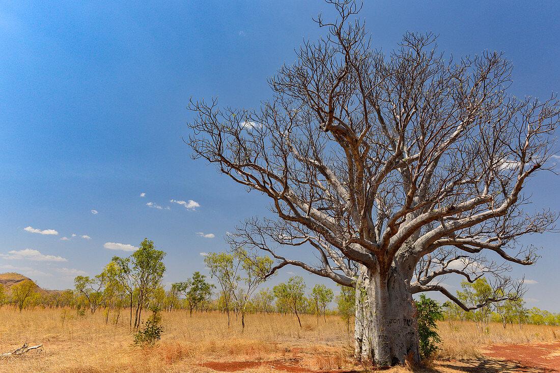 Large baobab tree in the outback, near Kununurra, Western Australia, Australia