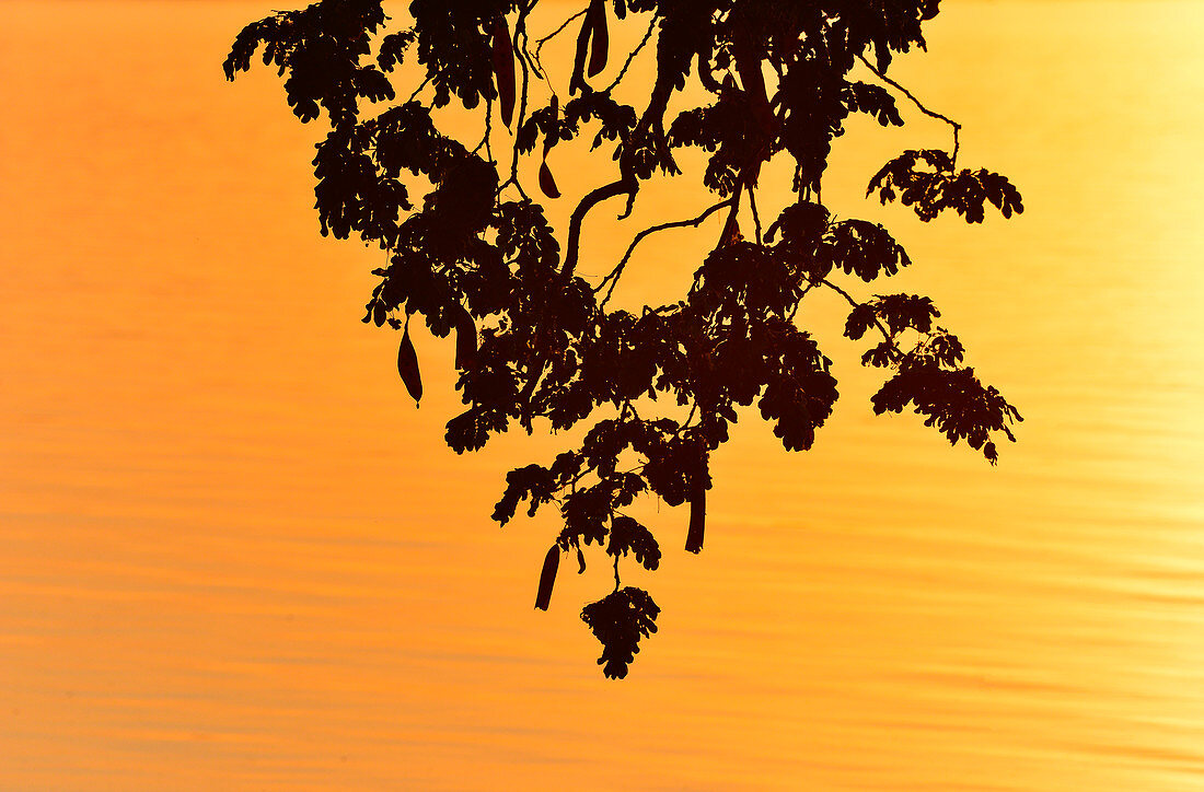 Silhouette of a branch in front of the glowing Ord River, Kununurra, Western Australia, Australia