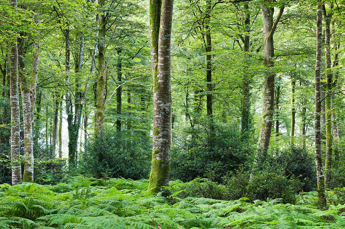 Beech forest Foret de Cerisy between the Calvados department and Manche, Normandy, France
