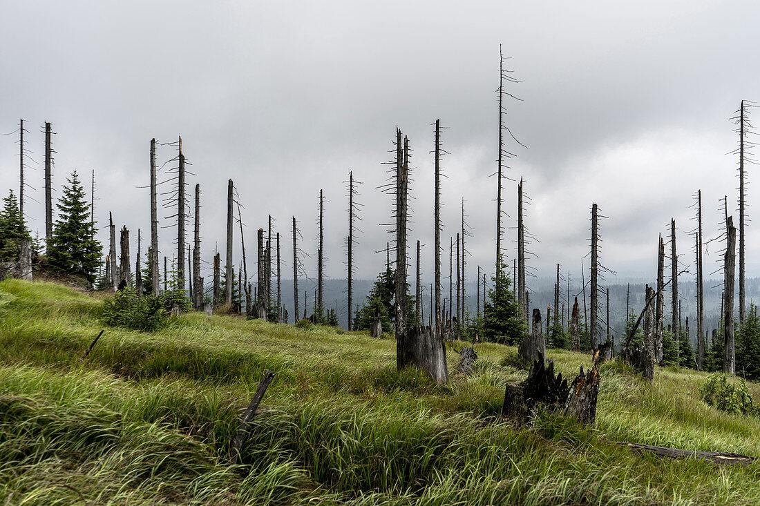 Abgestorbene Bäume im Nationalpark Bayerischer Wald am Großer Rachel, Bayern, Deutschland