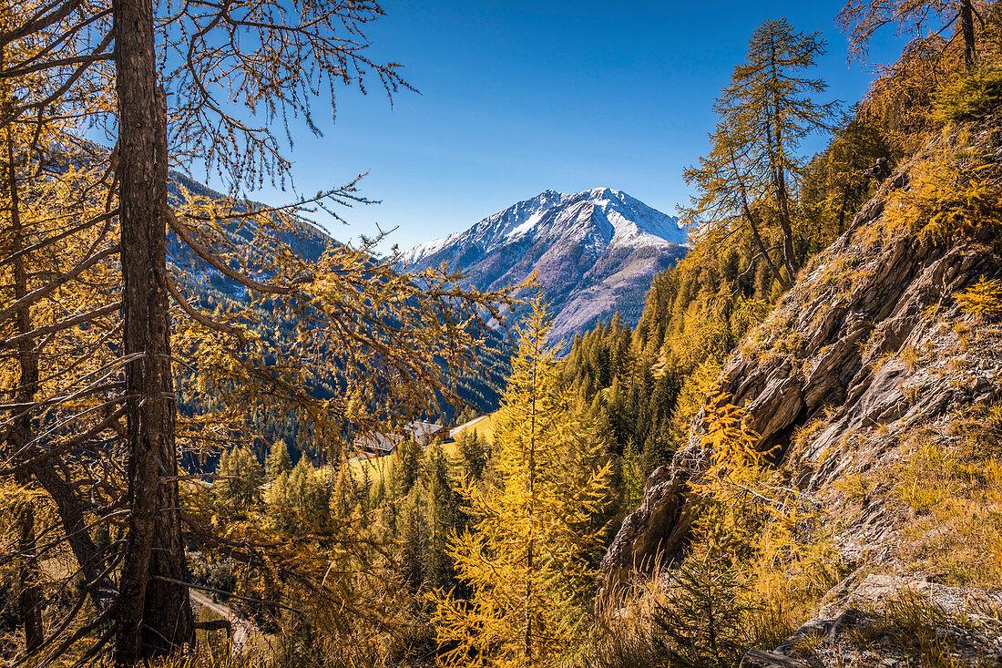 Herbstliche Lärchen und verschneite Berggipfel im Kalser Tal, Kals am Großglockner, Osttirol, Tirol, Österreich