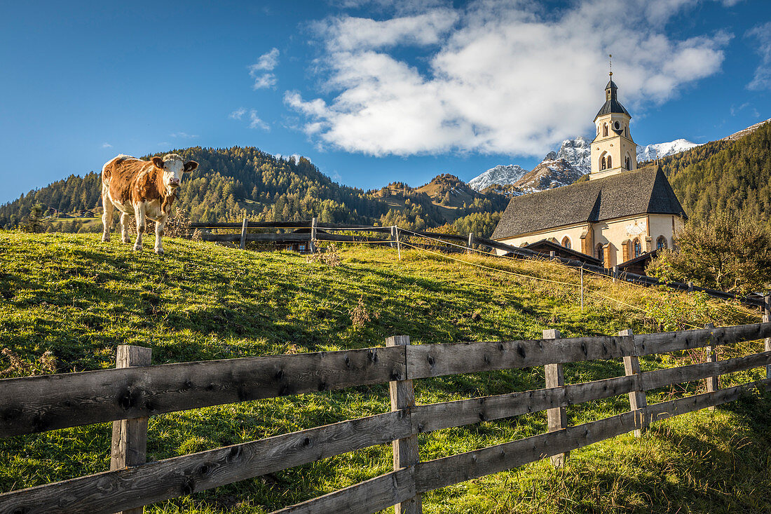 Cow pasture in Obermauern with pilgrimage church Maria Schnee, Virgental, East Tyrol, Tyrol, Austria