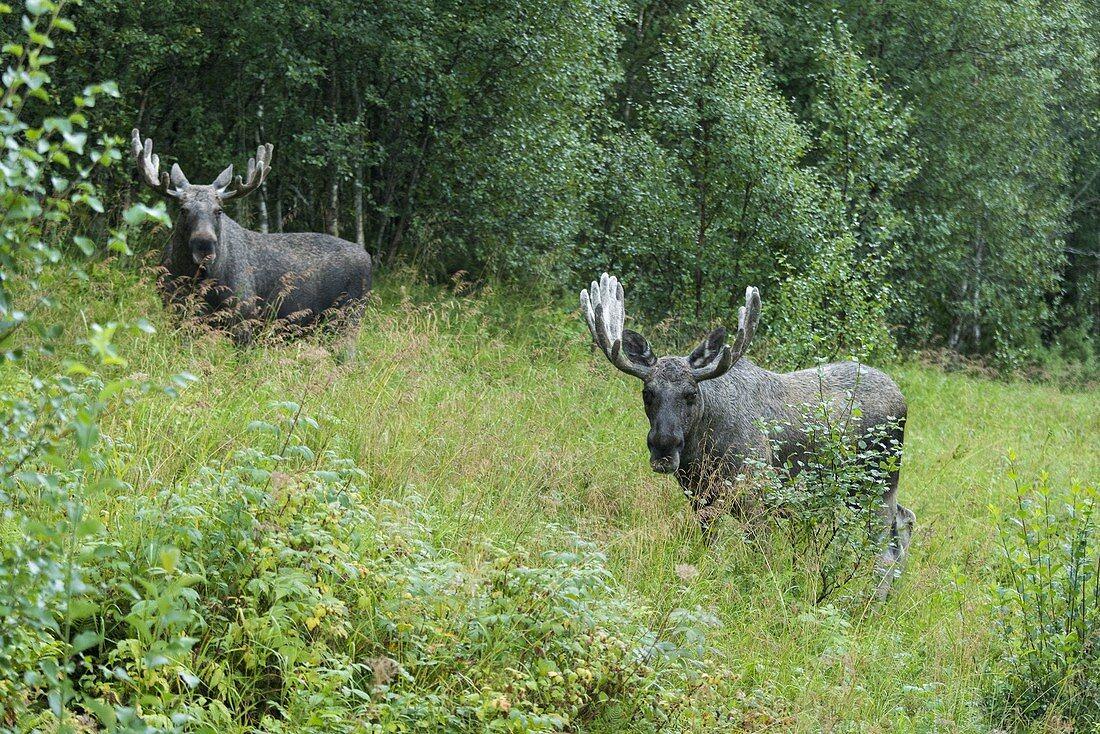 Elche, Vestland, Norway