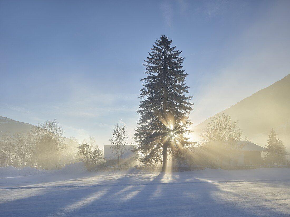 Tree in the morning sun, fog, Mölltal, Carinthia, Austria